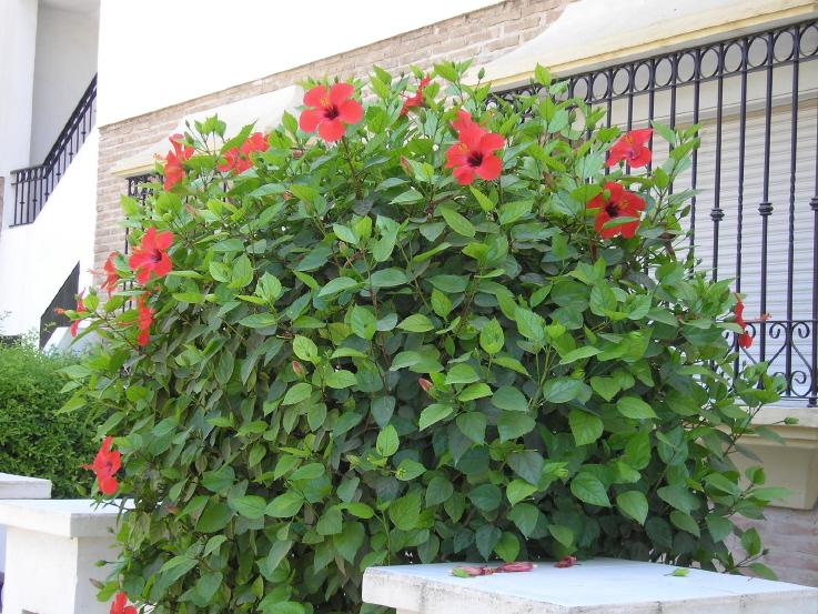 Conoce las plantas hibisco hibiscus rosa sinensis for Hibiscus arbol