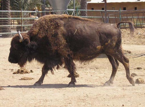 Bison Pictures - Picture of Bison