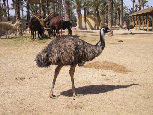 Emu Pictures - Picture of Emu
