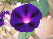 Morning Glory Picture