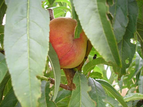 Peach Picture - Fruit in a Tree