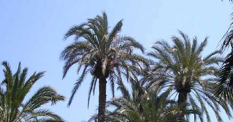 Portugal Palm Trees